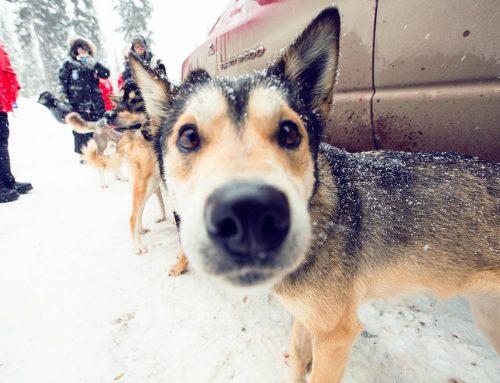 10 Fascinating Dog Sledding facts